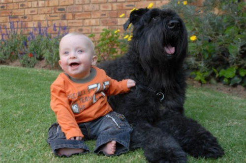 Bouvier with baby